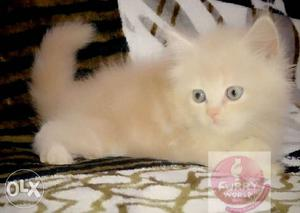All colour Persian Kittens available at Furry World in Pune