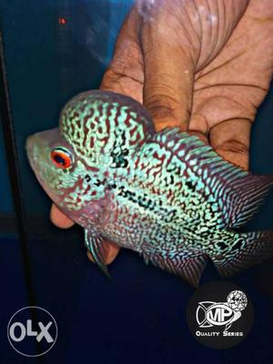"""Imported magma Flowerhorn available 3.75"""" size"""
