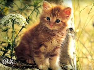 So beautiful Persian kitten for sale cod