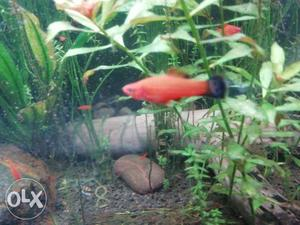 Swordtail fishes for sell 10 fishes for 50 rs.