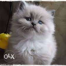 We have every type of kitten in purre quality available for