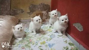 White and golden Kittens Available