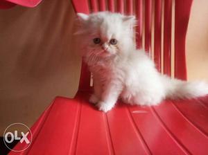 I av persian kittens for sale in chennai if u