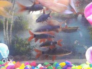 Rainbow shark fishes pair(2 fishes)
