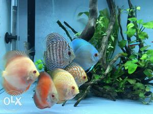 Display lot of 8 Discus fish for sale. Rate