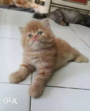 Orange persian kittens available