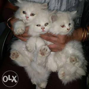 White Persian Kittens black,gray, golden available