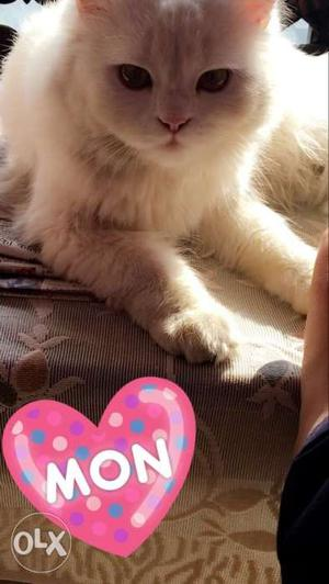 1 and half year old male pure persian cat..With