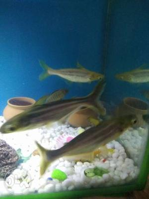 3 shark fish 4 to 5 inch only for 300