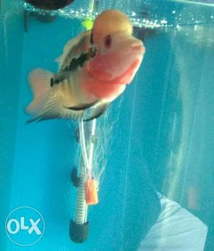 Flowerhorn fish set of 5 fish with 3 pack of