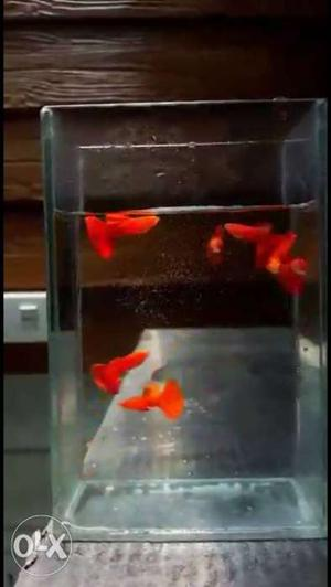 Full Red Wild Guppy..imported..black Eyes..with..mega Dorsal