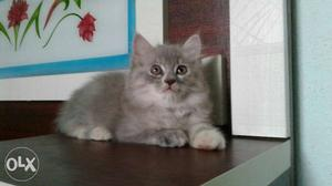 Gray male and female kittens available