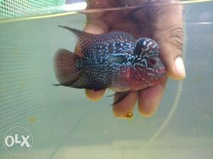 Imported high quality flowerhorn fish for sale in
