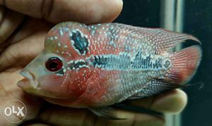 Magma Flowerhorn Fish with visible head
