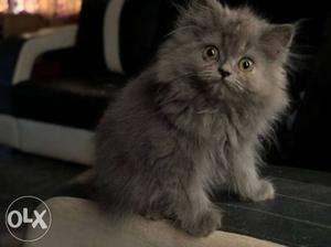 Male persian Cat very active and litter trained