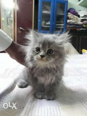 Persian kitten for sale  per kitten