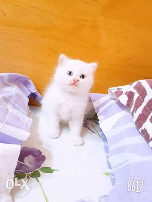 I want to sell my 4 persian kittens All male 3