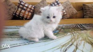 O very punch face white persian kitten for sale cash on