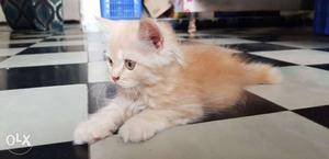 Semi pinch persian kitten..pure breed with high