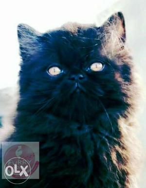 100% pure breed Persian kittens available at Furry World in