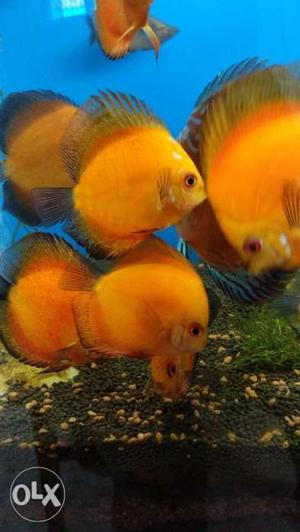 Discus fish and neon tetras