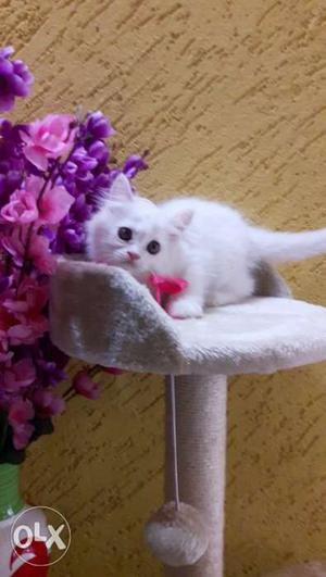 Flurry grey and brown persian kittens available