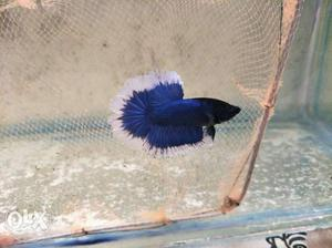 Imported Betta for low cost