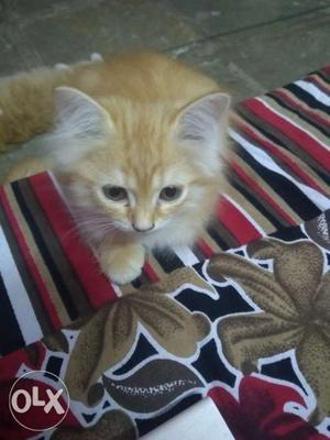 Semi persian kitten available in cheap