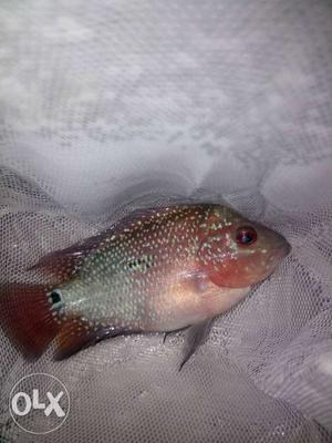 Srd Flowerhorn male 2.5 inches for sale head