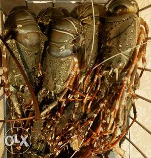 Fresh Lobsters, home delivery. Wholesale also