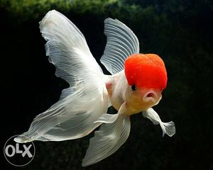 I want to buy redcap oranda of these type of