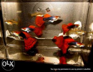 Red Tux Guppies in Low Price