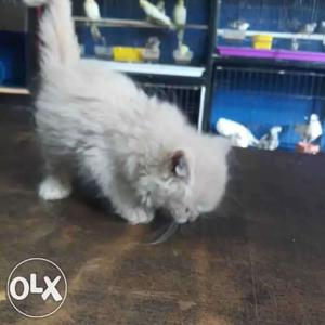 Very active and pure persian kittens available