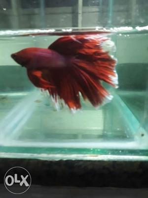 Full moon betta exotic red and light golden... call me