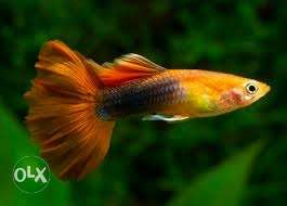 Normal and hybrid guppies availiable normal