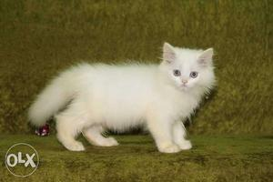Persian cat kittens available for new home. call