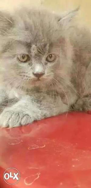 Persian cat very active friendly cat. litter