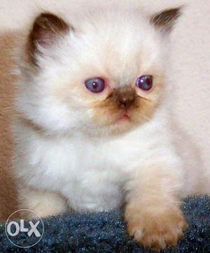 Tk pet shop Beautiful Persian kittens for sale in Mumbai