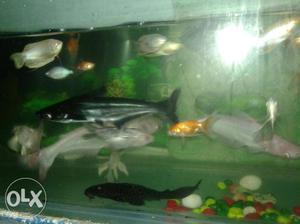 12 fish foer sale in  pair milky koi 1 pair