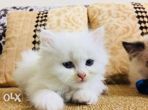 CATSBAE Persian kittens available Our kittens