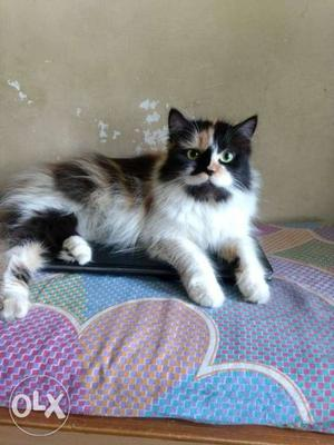 Dall face cat female age 15 month hair colety