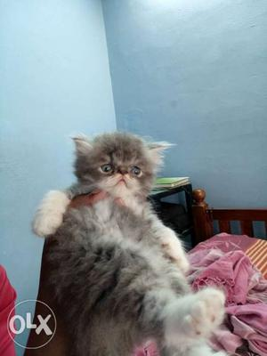 Extrem punch male kitten available in Ernakulam
