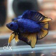 Dragon betta imported | Posot Class