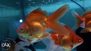 4-5 inch goldfish is available for sale at Rs 100