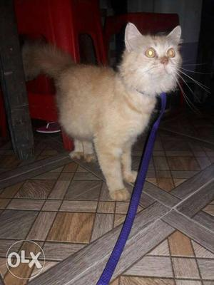 Persian cat female 1.5 years old. good and