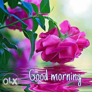 Pink Rose Flower And Good Morning Overlay Text