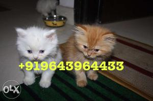 Adorable Persian Kittens and Cats Available for