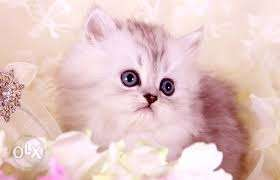 Big eyes so cute pure Persian kitten for sale in