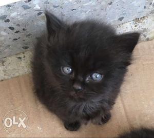 Black Persian Kitten for sale.....