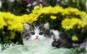 Blk and white color so cute Persian kitten for